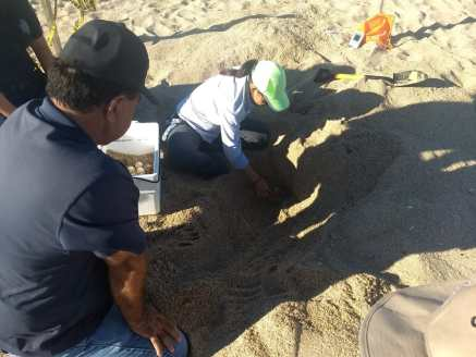 sept-2018-tortugas-3-1200x900 First turtle nest in Puerto Peñasco this season