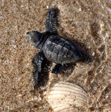 dic-2018-tortugas-T-Ballesteros-3 430 baby turtles released in Puerto Peñasco in 2018