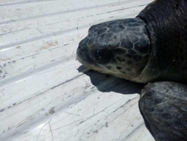 aug-2019-rescate-tortuga-2 Rescatan tortuga marina frente al Malecón