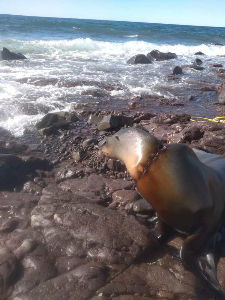 Lobo-marino-2 Entangled sea lion rescued from net near malecón