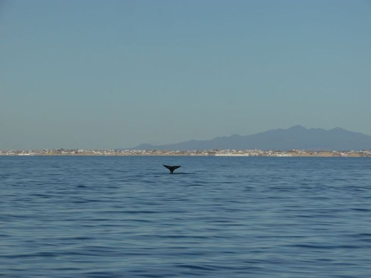 del-mar-whale-watching-tail-2020-1 Fins up! Rocky Point Weekend Rundown!