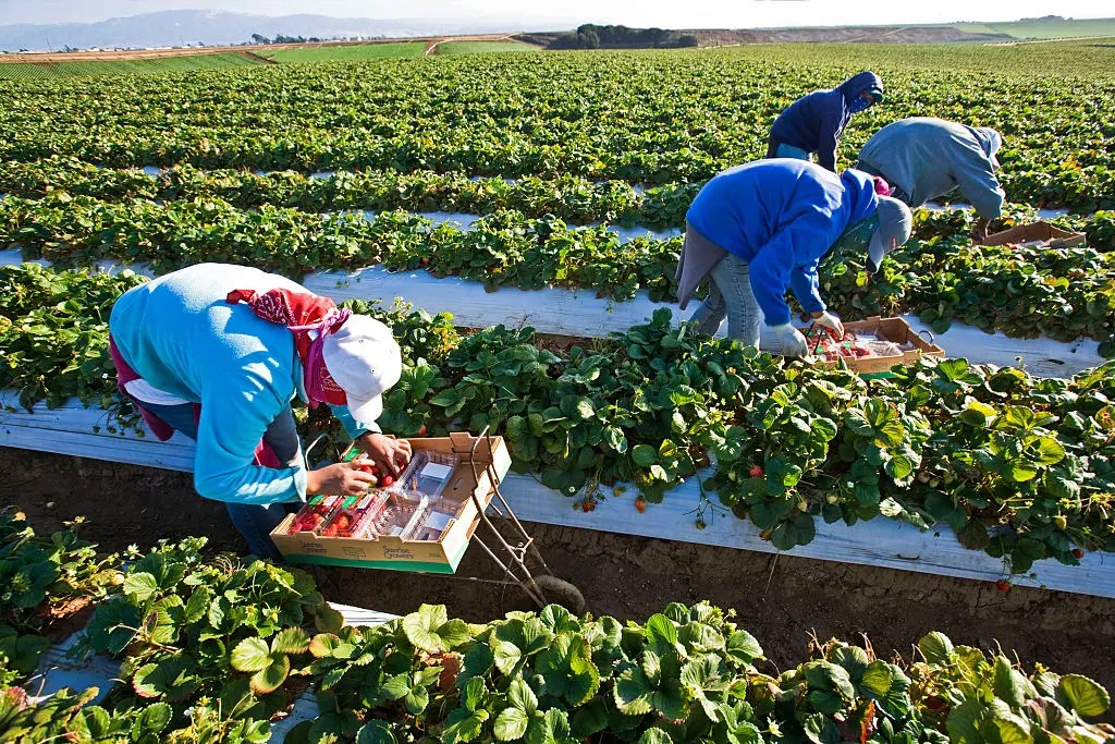 Migrant workers picking strawberries in fields