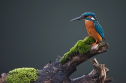 kingfisher by a yurt in devon