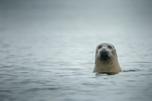 Seal, Castine, Maine