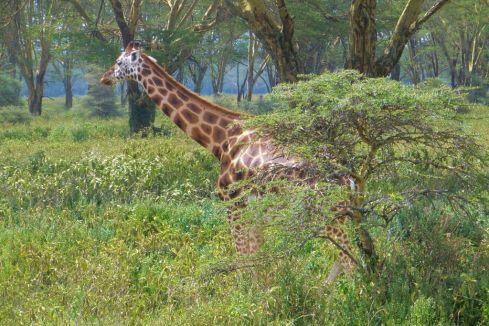 Lake Nakuru National Park (140)