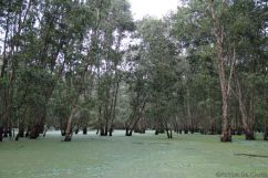Mangrove (14)