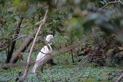 Mangrove (18)
