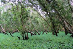 Mangrove (5)