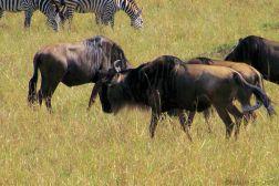 Masai Mara National Reserve (74)