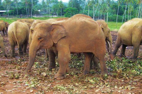 Pinnawala Elephant orphanage (1)