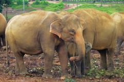 Pinnawala Elephant orphanage (3)