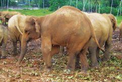 Pinnawala Elephant orphanage (5)