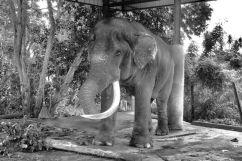 Pinnawala Elephant orphanage (7)