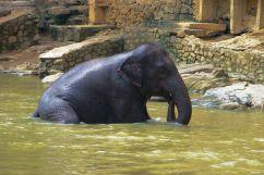 Pinnawala Elephant orphanage (8)