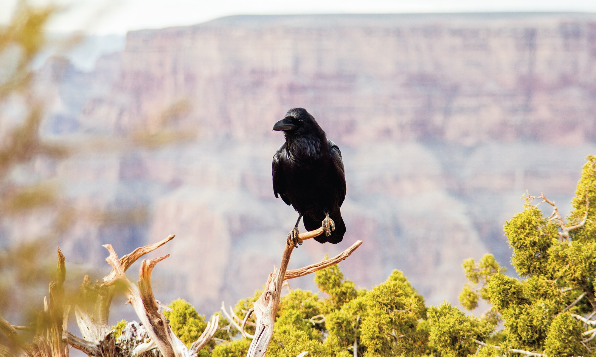 Crow at Eagle Point - West Rim Grand Canyon