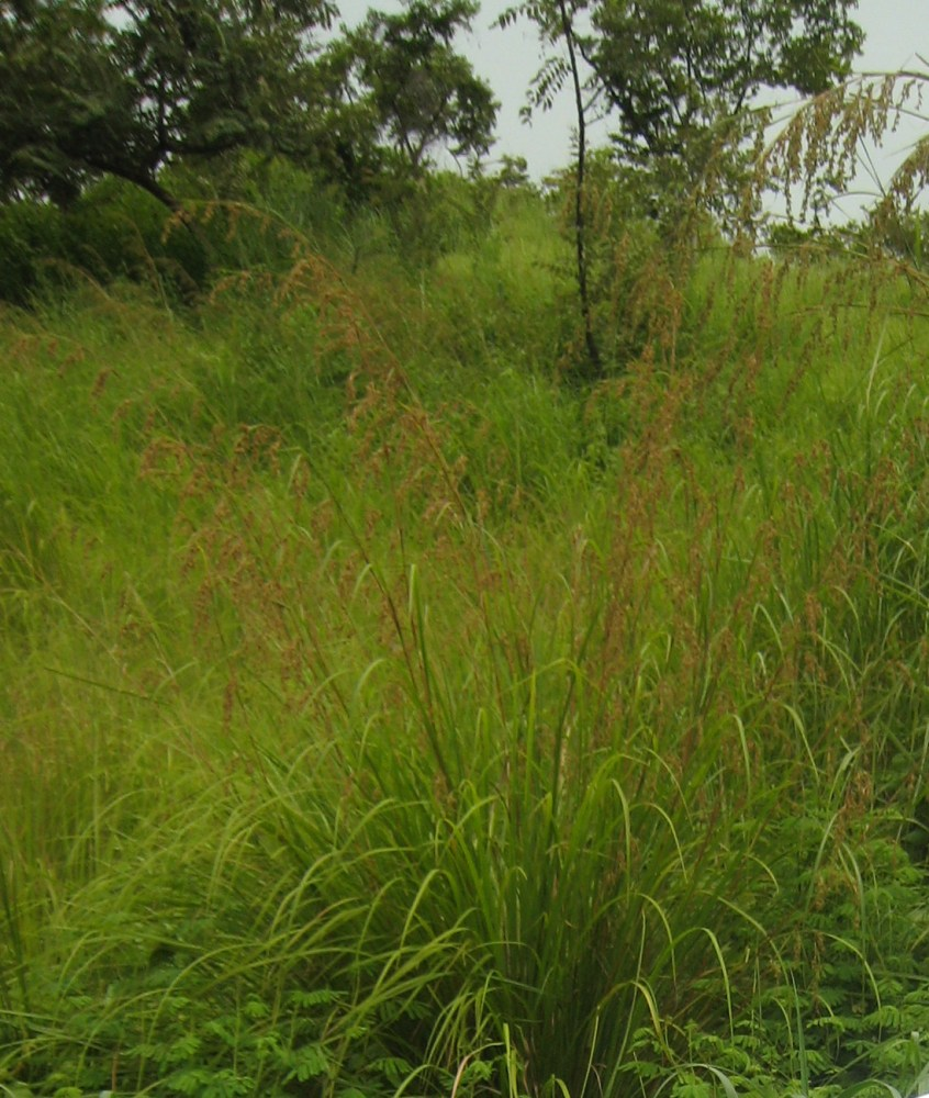 BOTANICAL STRUCTURE OF THE TARLAC GRASS (1/5)