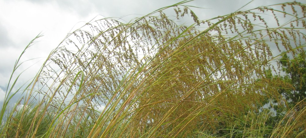 BOTANICAL STRUCTURE OF THE TARLAC GRASS (2/5)