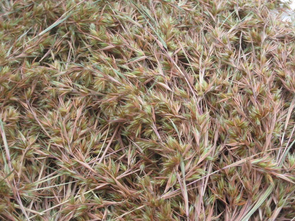 BOTANICAL STRUCTURE OF THE TARLAC GRASS (3/5)