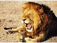 Охота на африканского льва