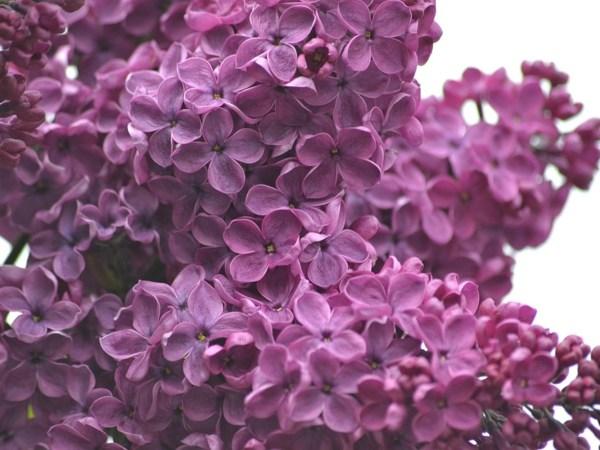 lilacs-1287880_960_720