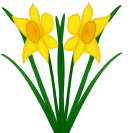 Narzissen_Narcissus