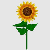 Sonnenblume_1
