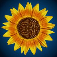 Sonnenblume_3