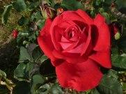2014_07_20_Rose_1