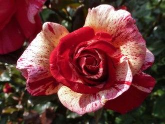 2014_07_20_Rose_3