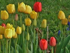 2014_April_Tulpe_1