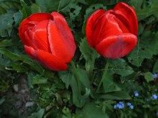 2015_05_08_Tulpen_12