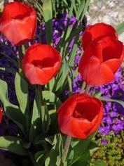 2015_05_08_Tulpen_14