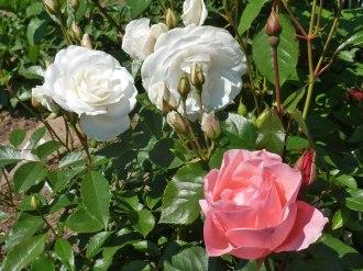 2015_07_01_Rose_12