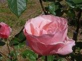 2015_07_01_Rose_15