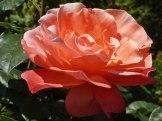 2015_07_01_Rose_19