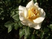 2015_07_05_Rose_7