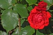 Rote Rose 9