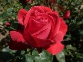 Rote Rose 14