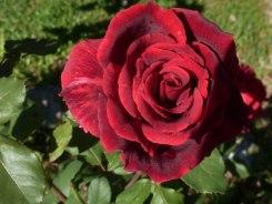 Rote Rose 17