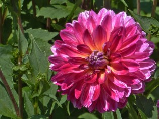 Dahlienblüte 12
