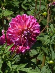 Dahlienblüte 13
