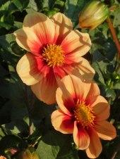 Dahlienblüte 7