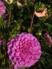 Dahlienblüte 9