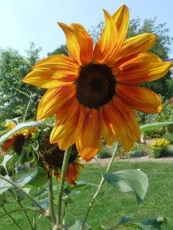 Sonnenblume-sunflowers 8
