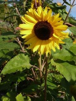 Sonnenblumen 09