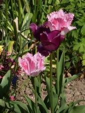 Späte Tulpe
