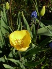 Späte Tulpe 3