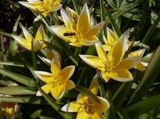 Tarda – Tulpe