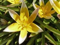 Tarda – Tulpe 2
