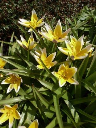 Tarda – Tulpe 6